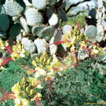 Kakteenblüte in Arizona